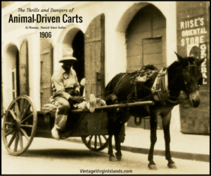 The Thrills and Dangers of Animal-Driven Carts in the Danish West Indies ~ 1906