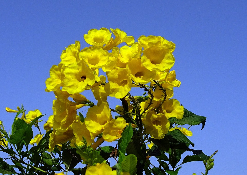 Can You Name the National Flower of the US Virgin Islands?